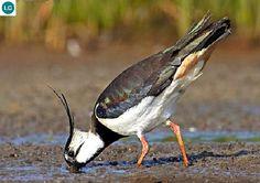 ☎️ https://www.facebook.com/WonderBirdSpecies/  Southern lapwing (Vanellus chilensis); South America;  IUCN Red List of Threatened Species 3.1 : Least Concern (LC)(Loài ít quan tâm)  Te te phương nam; Nam Mỹ; HỌ CHOI CHOI - CHARADRIIDAE (Plovers, Dotterels, and Lapwings).