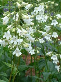 50 best flowers spire shaped images on pinterest white flowers penstemon white flowers perennial flower for the border mightylinksfo