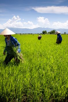 Rice Fields & Workers, Countryside near Ho Chi Minh City, Vietnam