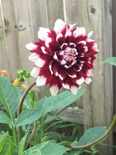 Mystery Day Dahlias grow by me! :) My favorite this year