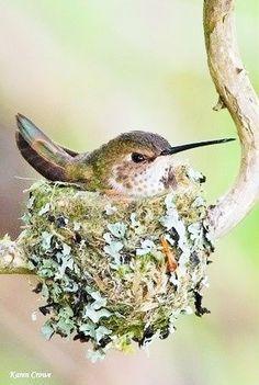 le nid colibri ⊰ by karen crowe hummingbird nest