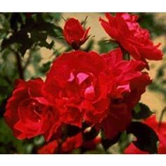 "A Zone 2 Rose! Top Quality Roses ""Adelaide Hoodless"" Over 270 Varieties of Roses"