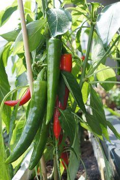 Fruit Plants, Fruit Trees, Trees To Plant, Veg Garden, Vegetable Garden Design, Growing Gardens, Farm Gardens, Cabbage Plant, Tabasco Pepper