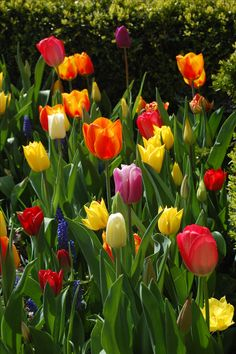 Tulips - my garden