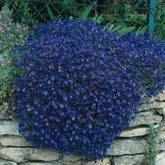 Rock Cress Cascade Blue~Groundcover Season: Perennial Zones: 4 - 9 Height: 4 inches Width: 24 inches Bloom Season: Mid spring to early summer Bloom Color: Blue Growth Rate: Moderate Environment: Full sun to partial shade Average Germ Time: 14 - 21 days Light Required: Yes Depth: Seeds must be covered thinly Soil Type: Well-drained, pH 6.5 - 7.5 Sowing Rate: Approximately 1000 Aubrieta seeds covers 20 square feet [$18 for 2,000 seeds] Moisture: Keep seeds moist until germination