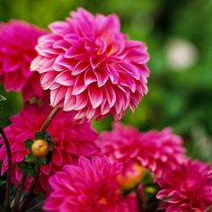 Plant Name: Dahlia selections Growing Conditions: Full sun and moist, well-drained soil Size: To 6 feet tall and 2 feet wide Grow it with: Create an interesting contrast with spiky, upright liatris. Zones: 5-8 Click here to learn more about dahlia