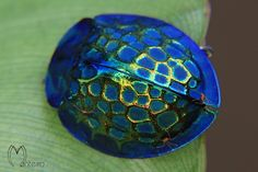 Imperial Tortoise Beetle (Stolas imperialis) by Servio Monteiro, projectnoah #Insect