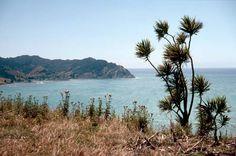 Cabbage tree, Tokomaru Bay