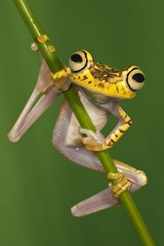 ~Chachi Tree Frog