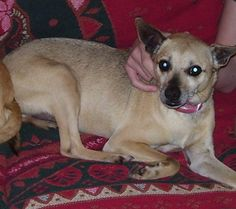 I think my dog Buddy might be a rat terrier chihuahua mix. (Ratcha)