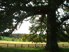 Kentucky - 300 Yr. Oak Tree on Old Frankfort Pike in Lexington KY by Lizette Fitzpatrick, www.lizette.us