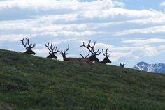 Rocky Mt. National Park, Colorado Elk herd