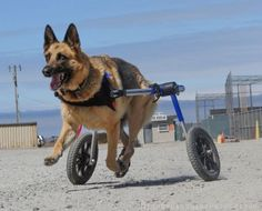 Coco is back in action with a Walkin' Wheels dog wheelchair!