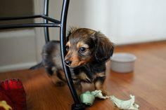 Dachshund puppy.