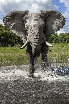 Best Elephant Photos You Never Seen Before - Animals Comparison Elephant Pictures, Elephants Photos, Save The Elephants, Animal Pictures, Baby Elephants, Baby Cows, Big Animals, Majestic Animals, Nature Animals