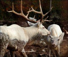 littleforestdoe:  {Majestic White Elks} by {SilkenWinds}