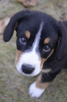 This adorable large purebred pup comes from Switzerland, and is known for being cheerful, intelligent, protection, friendly, and loyal. Although these doggies can be a bit tough to train, they are very low maintenance and great with kids. If nothing else, how can you resist that picture?  The Entlebucher Mountain Dog