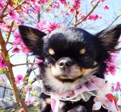 おはりり 昨日は食べてばかりじゃないですよ 桃の花を見に行きました でも りーたん の写真 全部こんな顔 Li'li'i #chihuahua #桃の花 #ネムネム by chihuahuakaachan