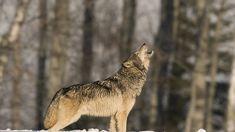 howling wolf - Google zoeken