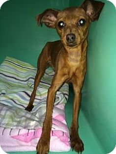Chihuahua/Miniature Pinscher Mix Dog for adoption in Saginaw, Michigan - Angel
