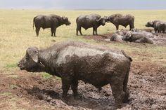African buffalo, Ngorongoro Crater Conservation Area, Tanzania