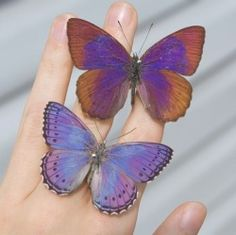 Sevenia, commonly called tree nymph butterflies, is a genus of butterflies from Africa. The lilac tree nymph and spotted lilac tree nymph… Purple Aesthetic, Aesthetic Photo, Aesthetic Pictures, Dame Nature, Under Your Spell, Animes Wallpapers, Beautiful Butterflies, Wall Collage, Faeries