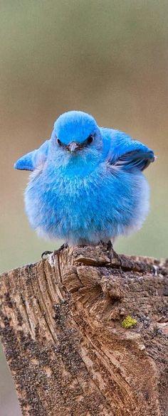 ANGRY BIRDS GETS REAL – Mountain blue bird. – Cute animals world  | followpics.co