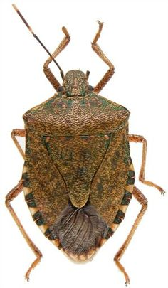 Stink BugThey're baaaaack. The Return of the Stink Bugs is not a Hollywood blockbuster. But you might feel like its a horror show as they turn up in your garden and house. Backyard Vegetable Gardens, Outdoor Gardens, Stink Bugs, Horror Show, Little Critter, Garden Pests, Companion Planting, Cool Plants, Cool Diy Projects