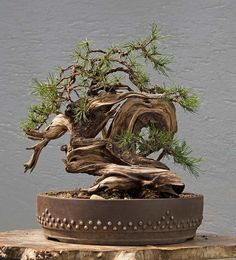 pinterest #bonsai - Yahoo Image Search Results