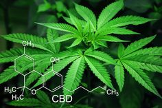 CBD is a compound derived from the cannabis plant. Also known as cannabidiol, CBD is non-psychoactiv Marijuana Plants, Cannabis Plant, Cannabis Oil, Marijuana Art, Marijuana Leaves, Cannabis Edibles, Make Money Online, How To Make Money, World Market