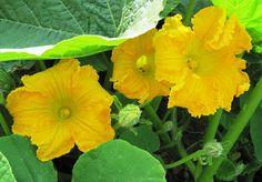 CALABAZA. Ambas flores son maravillosos para rellenar, cada uno con un ligero sabor a calabaza. Remueve los estambres antes de usar.