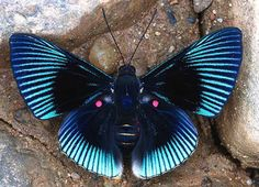 Equador Butterfly. Semicherry-bordered Metalmark