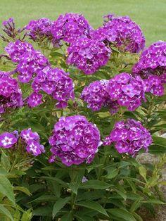 117 best phlox images on pinterest in 2018 perennial plant phlox grape lollipop yahoo image search results shade perennialsflowers mightylinksfo