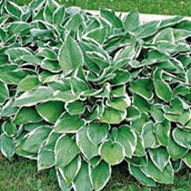 Hosta--much like the ones I have :)