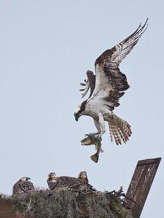 www.editionlocal.com >> Osprey.