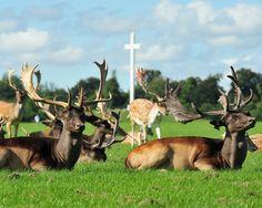Deer41