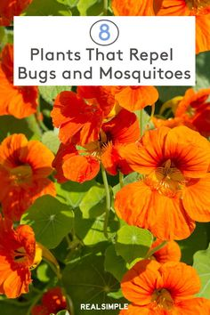 For natural pest control that will actually make your yard look prettier, introduce these plants that repel bugs and mosquitoes. Full Sun Flowers, Full Sun Plants, Plants That Repel Bugs, Organic Gardening Tips, Herb Gardening, Flower Gardening, Organic Farming, Organic Horticulture, Garden Solutions