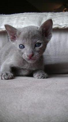 Chaton oriental shorthair à vendre   Laurentides - #chaton #cute