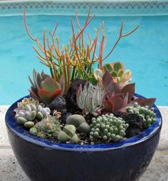 Dish Garden, blue pot with lots of succulents Growing Succulents, Succulents In Containers, Cacti And Succulents, Planting Succulents, Planting Flowers, Container Flowers, Container Plants, Dish Garden, Garden Pots