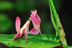 Mantis orquídea rosa unusual-colored-animals-181__700