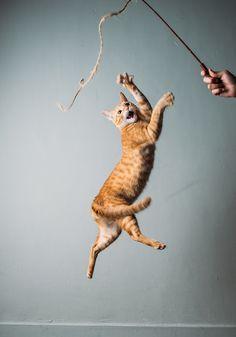 Jump cat by Ben Chen - Photo 89177789 - Dancing Animals, Dancing Cat, Bad Cats, Crazy Cats, Jumping Cat, Sushi Cat, Cat Reference, Cat Photography, Photography Website