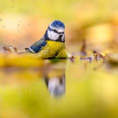 Blue tit in water yellow autumn background by CreativeNature_nl on PhotoDune. Square image Blue tit bird (Cyanistes caeruleus) washing and splashing in water with yellow autumn colors leaves back. Blue Tit, Leaf Background, Texture, Art Design, Beautiful Birds, Wildlife, Stock Photos, Autumn, Abstract