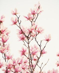 pink flower photography - pink tulip trees pink home decor nature art pink wall art nursery decor - Japanese Magnolia II by eireanneilis