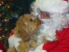Four-month-old Tara, a cockapoo, gives Santa, played by Paul Raucci of Loveland, a big kiss during the Santa Paws -- Holiday Photos with Santa and Bake Sale on Saturday. (Shelley Widhalm)