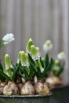 Muscari 'White Magic' Grape hyacinth