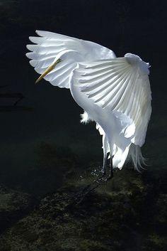 our-amazing-world: ~ White Egret ~ Amazing World | wingedpoetry.tumblr.com