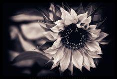 50 Ideas Tattoo Flower Sleeve Black And White Sunflowers White Flower Wallpaper, Sunflower Wallpaper, Dark Wallpaper, Wallpaper Backgrounds, Floral Wallpapers, Sunflower Tattoo Simple, Sunflower Tattoos, Black And White Background, Black And White Pictures
