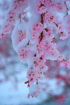 Frozen cherry blossoms