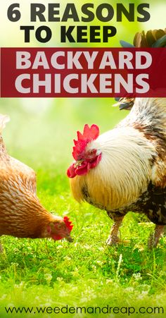 6 Reasons to Keep Backyard Chickens - Weed'em & Reap