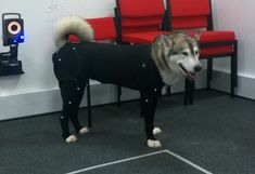A husky came to my Uni to help out with some motion capture work! - Album on Imgur